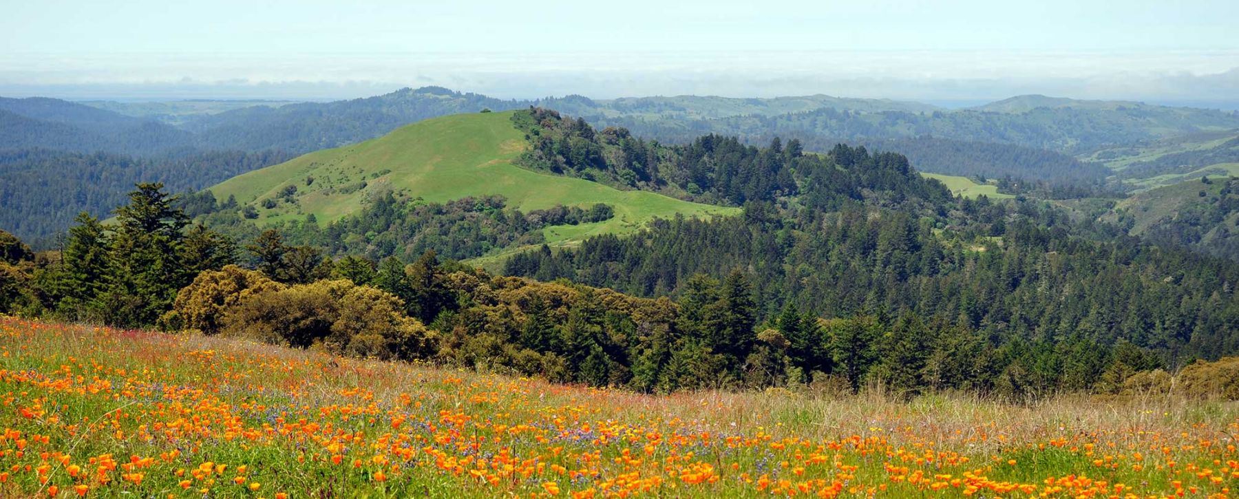 California Poppies in Santa Cruz Mountains